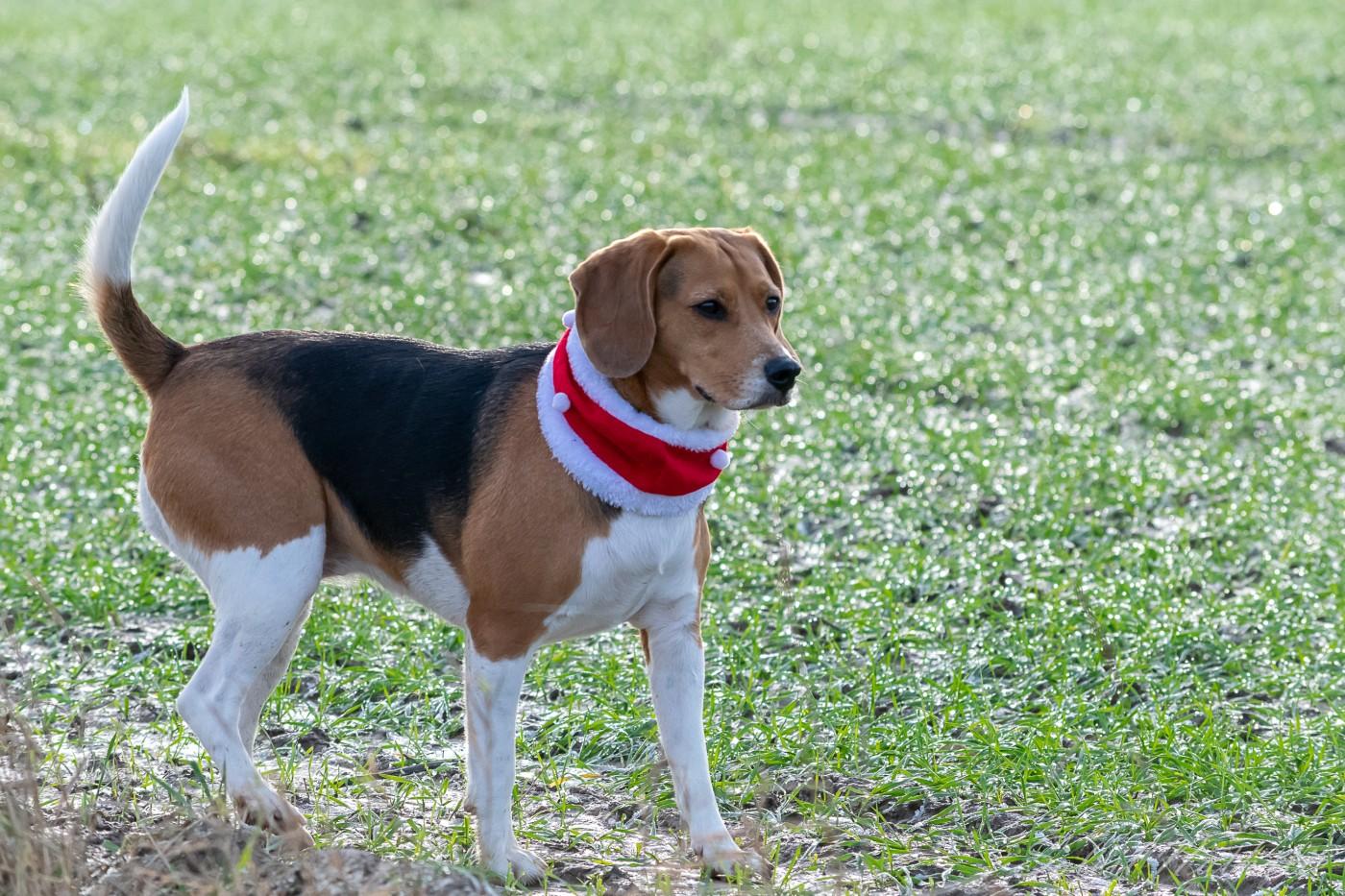 Beagle et son cache-cou de noël