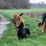 Malinois et chien de berger