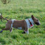 Bull Terrier qui trottine