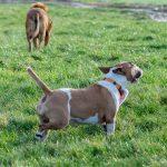 Bull Terrier dans l'herbe