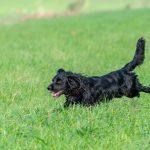 Chien noir qui galope dans l'herbe