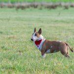 Bull Terrier et son déguisement de noël