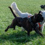 Berger blanc suisse et Boxer