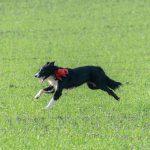 Border collie et son noeud rouge