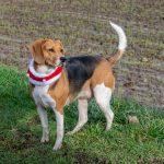 Beagle qui observe au loin
