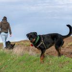 Rottweiler et son cache-cou vert