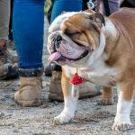 Bulldog anglais qui ferme les yeux