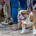Bulldog à l'arrêt