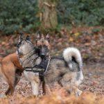 Husky et Malinois qui se rencontrent