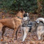 Husky avec harnais et Berger Belge