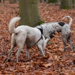 chiens dans les feuilles