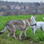 Chien Loup et Berger Blanc Suisse