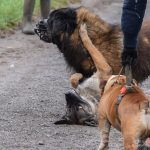 Bulldog, Berger Portugais qui joue