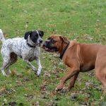 Braque et Boxer en interaction