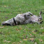 Braque qui se roule dans la pelouse