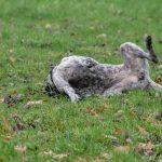 Braque dans la pelouse