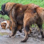 Bulldog avec harnais et Berger Portugais