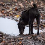 chien noir qui boit dans une flaque