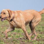 Labrador beige avec collier rouge