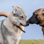 Chien Loup et Malinois qui se rencontrent