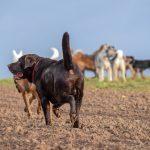 Labrador chocolat au collier rouge
