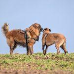 deux chiens avec harnais
