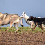 Chien Loup et Berger Suisse qui courent