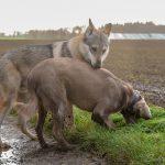 Chien loup fait connaissance