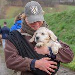 Chiot Labrador Retriever beige