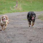 course de chien