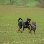 Rottweiler avec harnais