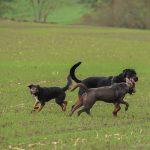 Rottweiler qui interagit