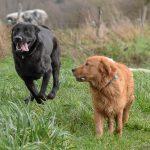 Golden et Labrador qui courent