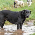 Labrador noir dans une flaque