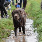 Labrador dans l'eau