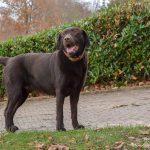 Labrador qui observe
