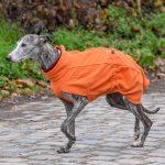 Lévrier avec manteau orange