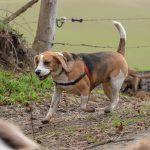 Beagle qui court