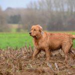 Golden dans la boue