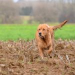 Golden retriever qui galope