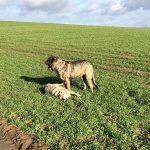 Mâtin espagnol et chien-loup épuisés