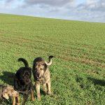 Mâtin espagnol, Braque et Rottweiler qui courent