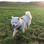 Akita dans les champs