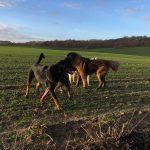 Rottweiler, Berger portugais, Akita et Braque