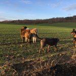 Rencontre entre Braque, Akita, Rottweiler et Berger Portugais