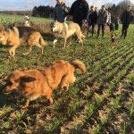 Groupe de chiens qui courent
