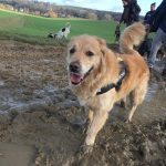 Golden retriever dans la boue