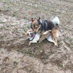 Jeux entre deux petits chiens