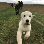 Chiot golden retriever en plein saut