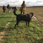 Labrador et chiot Golden dans les champs